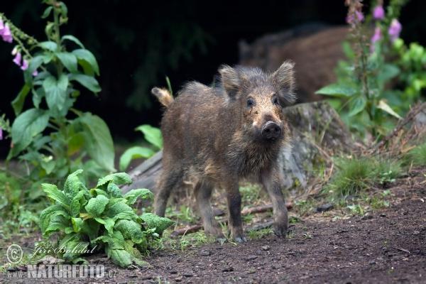 Sus Scrofa Pig