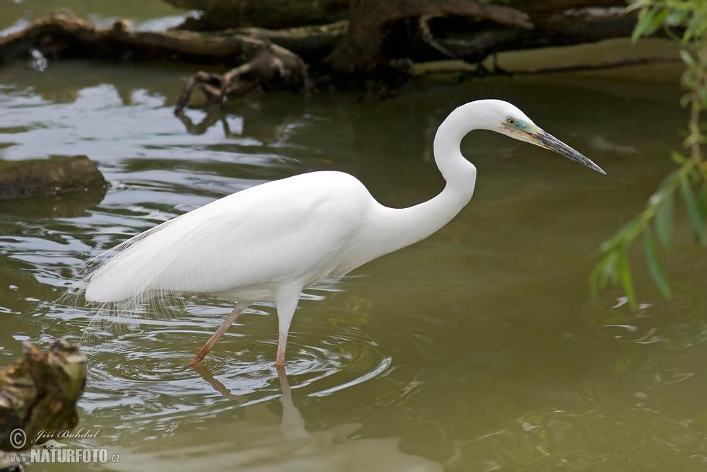 Great White Egret Photos, Great White Egret Images, Nature ...
