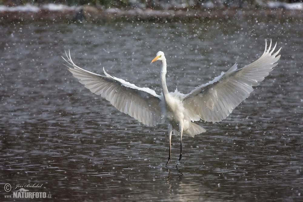 Great White Egret Pictures, Great White Egret Images ...