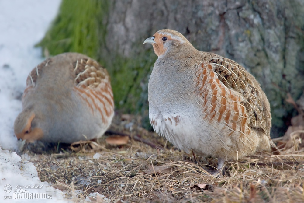 Grey Partridge Picture...
