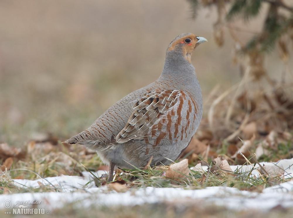 Grey Partridge Photos,...