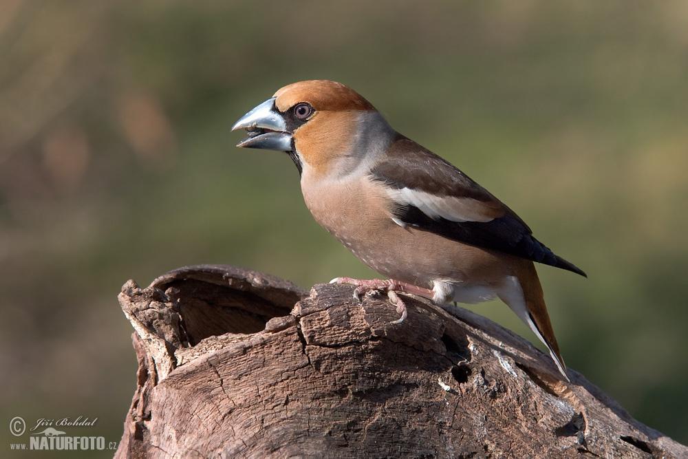 http://www.naturephoto-cz.com/fullsize/birds/hawfinch-8446.jpg
