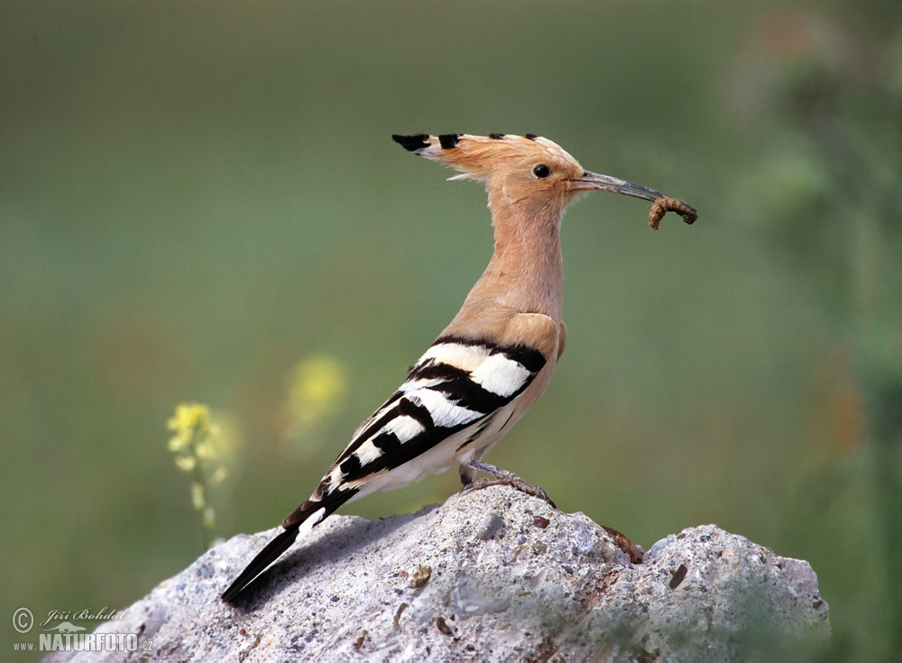 hoopoe photos hoopoe images nature wildlife pictures naturephoto. Black Bedroom Furniture Sets. Home Design Ideas
