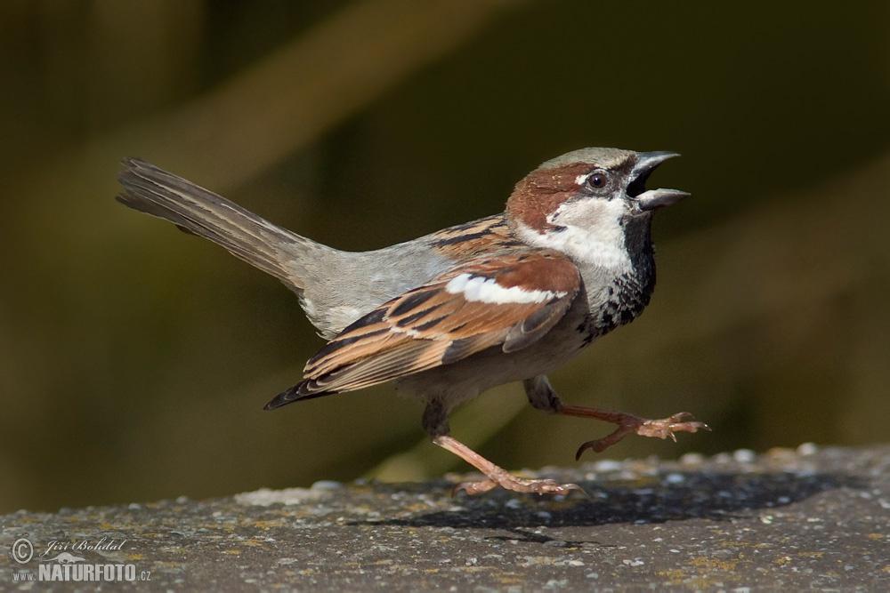 House Sparrow Photos, House Sparrow Images, Nature ...