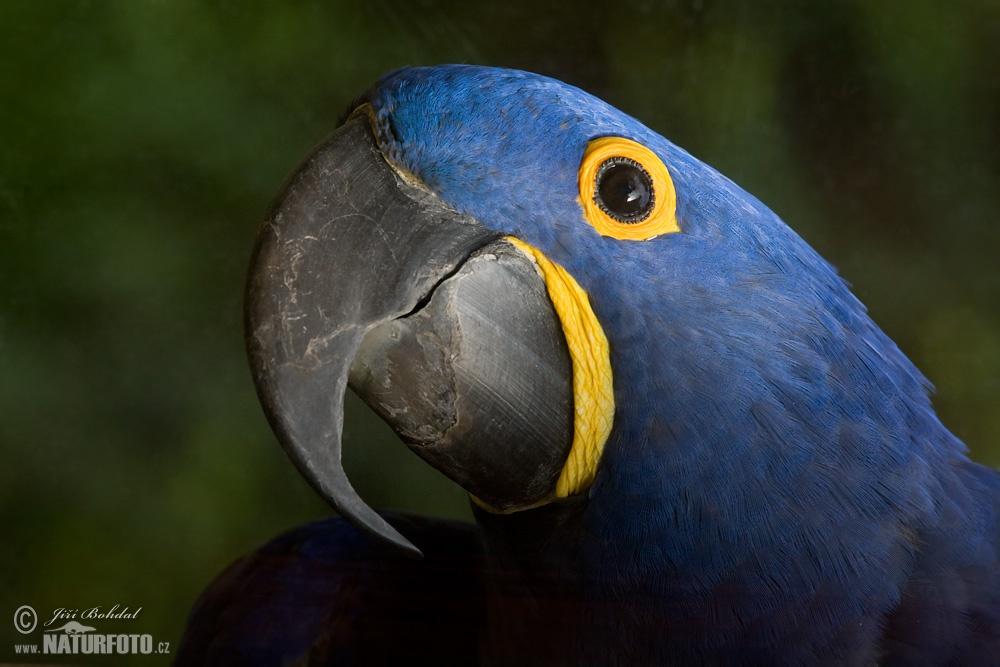 Hyacinth Macaw Photos, Hyacinth - 172.9KB