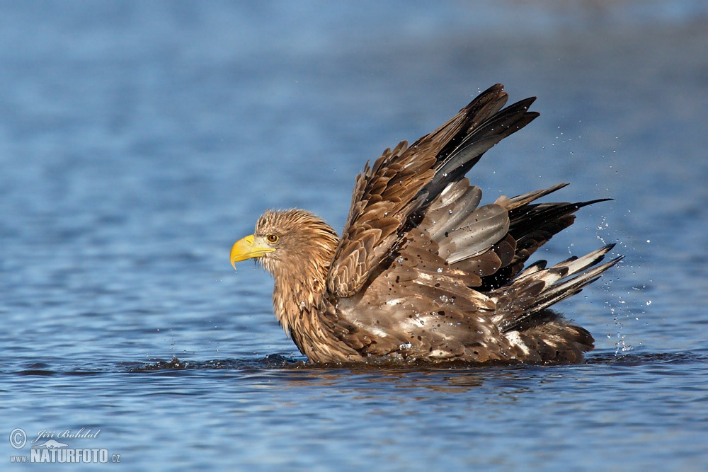 White Tailed Eagle Pictures 110