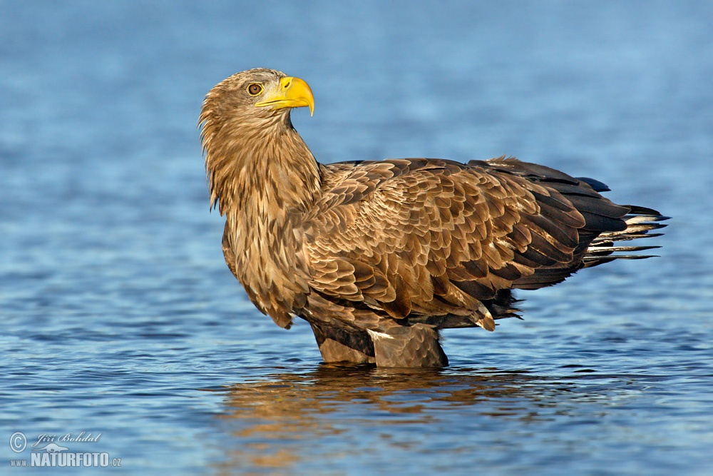 White Tailed Eagle Pictures 20