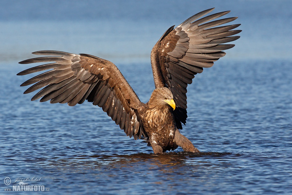 White Tailed Eagle Pictures 39