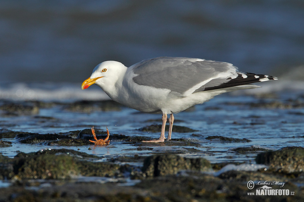 Herring Gull Photos, Herring Gull Images, Nature Wildlife ...