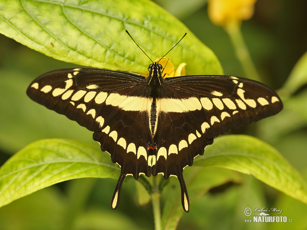 Butterfly Gallery: Butterfly Photos, Butterfly Images, Nature Wildlife