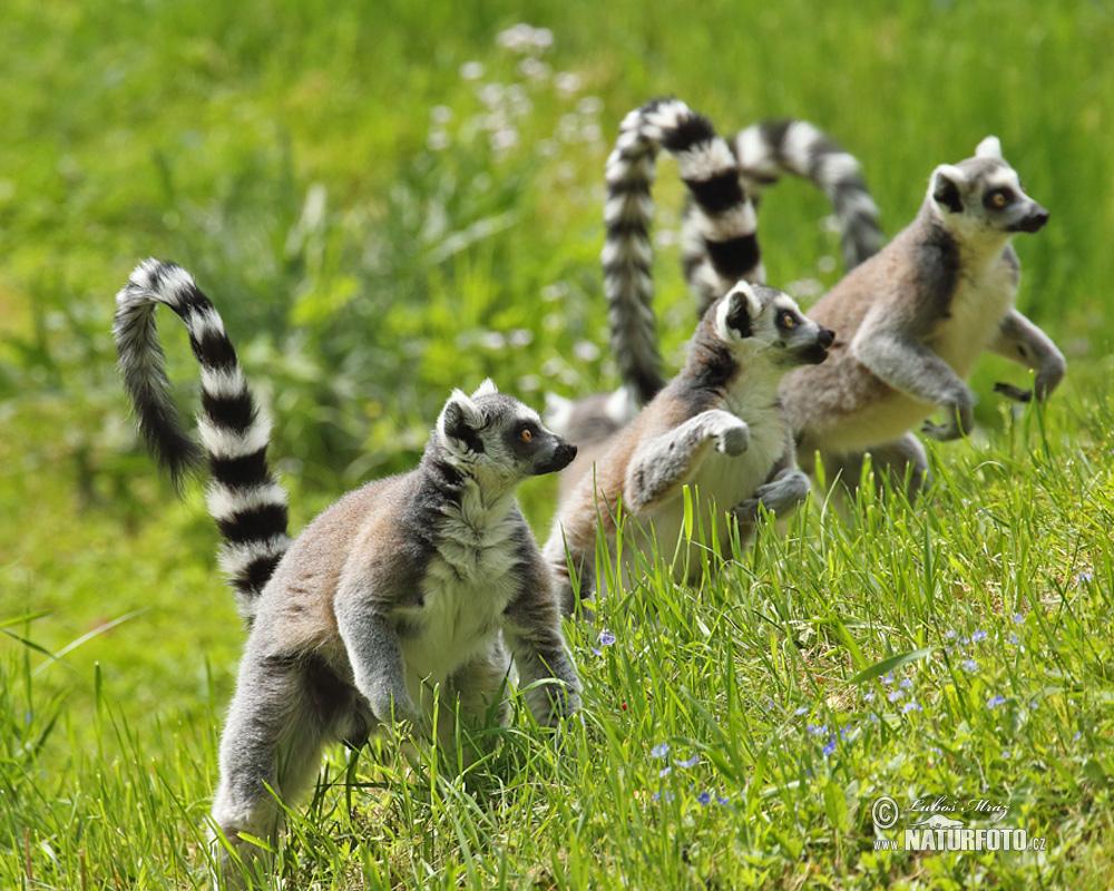 lemur catta With young nahampoana reserve near fort dauphin, madagascar isalo national park, madagascar anja reserve near ambalavao, madagascar.