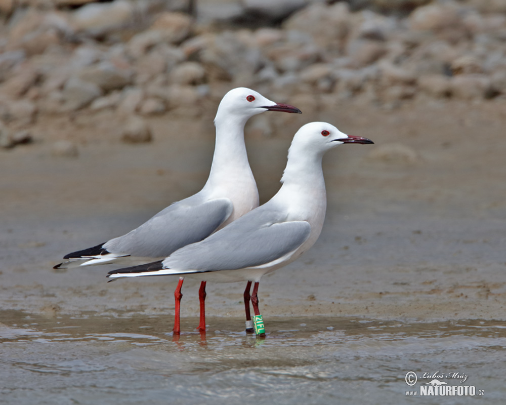 Slender-billed Gull Photos, Slender-billed Gull Images ...