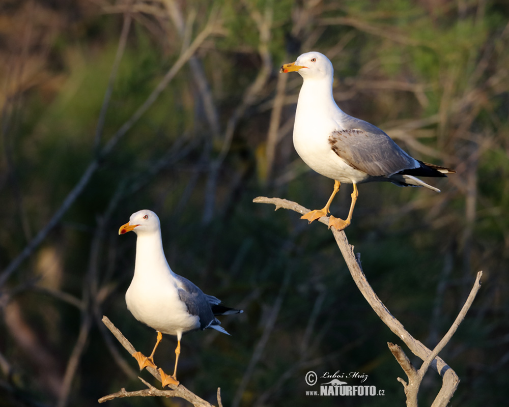 Yellow-legged Gull Photos, Yellow-legged Gull Images ...