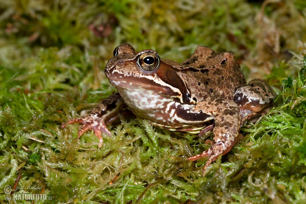 common-grass-frog-83146.jpg