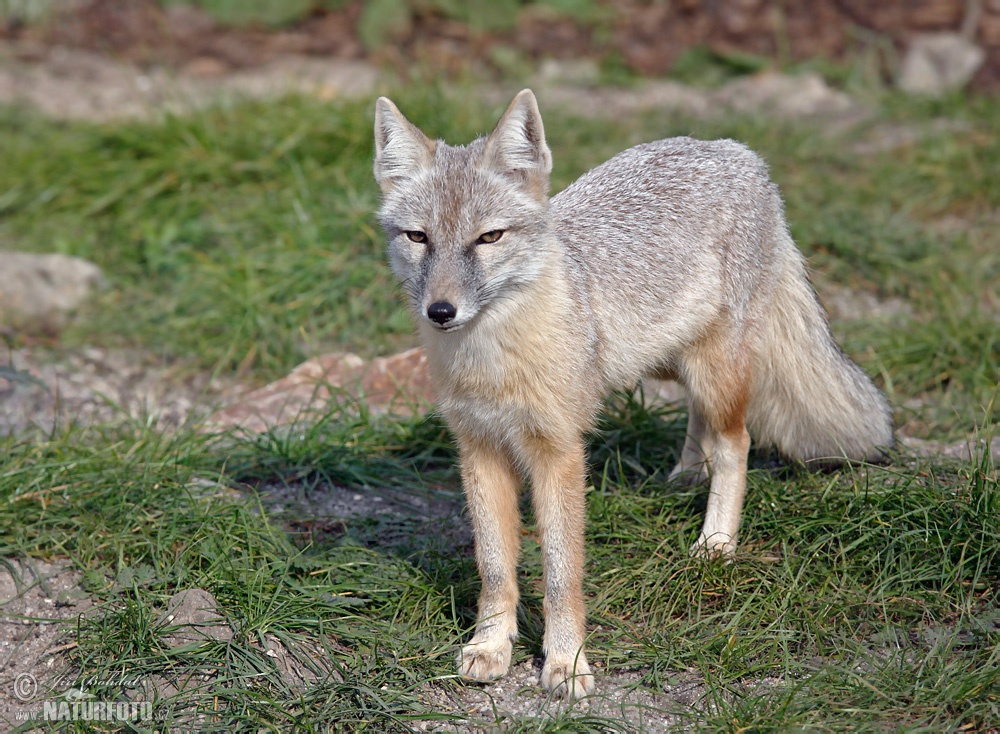Corsac Fox Photos Corsac Fox Images Nature Wildlife