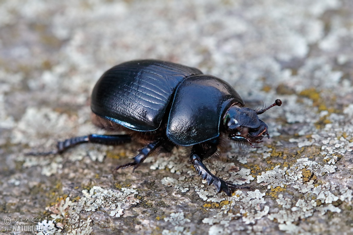 Dung Beetle Photos Dung Beetle Images Nature Wildlife