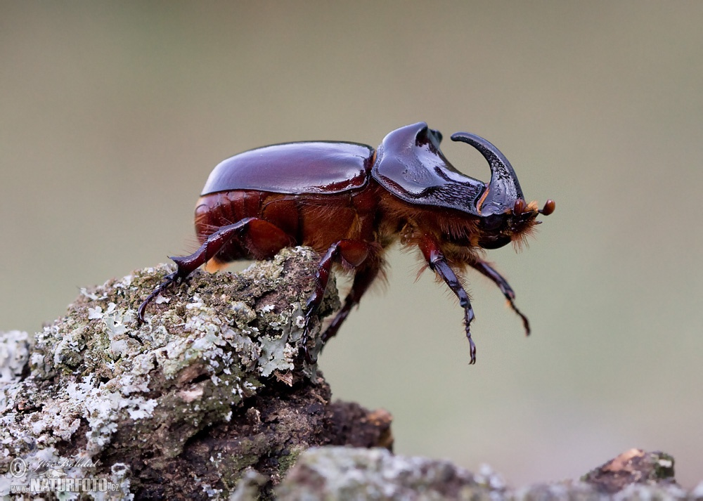 rhinoceros beetle The body of an adult rhinoceros beetle is covered by a thick exoskeleton a pair of thick wings lay atop another set of membranous wings underneath, allowing the.