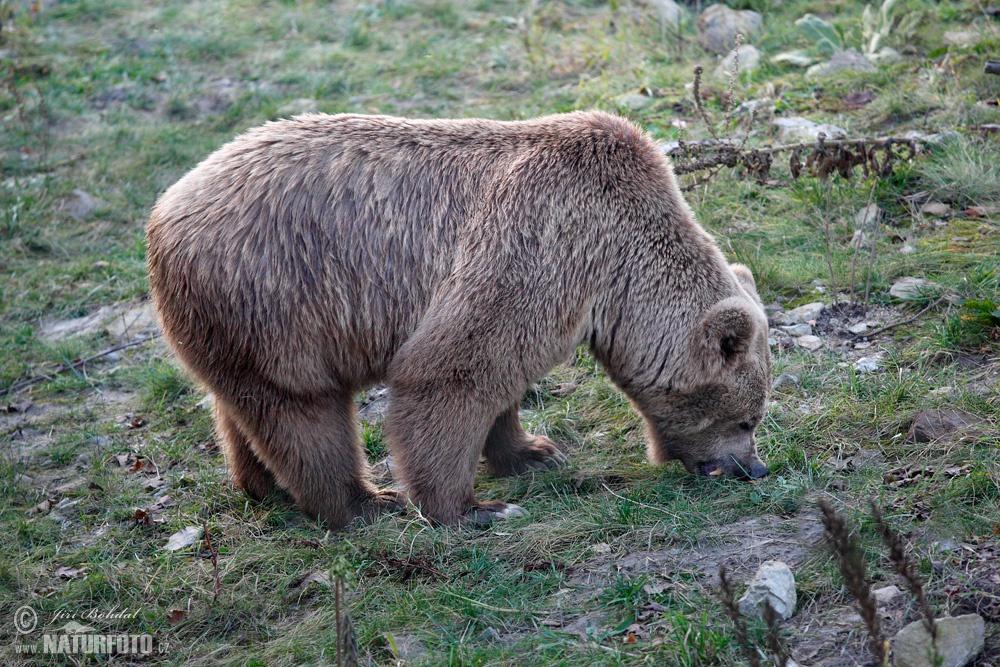 Himalayan Brown Bear Yeti | www.imgkid.com - The Image Kid ... Himalayan Brown Bear Yeti