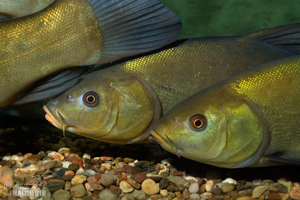 Tench Pictures, Tench Images NaturePhoto