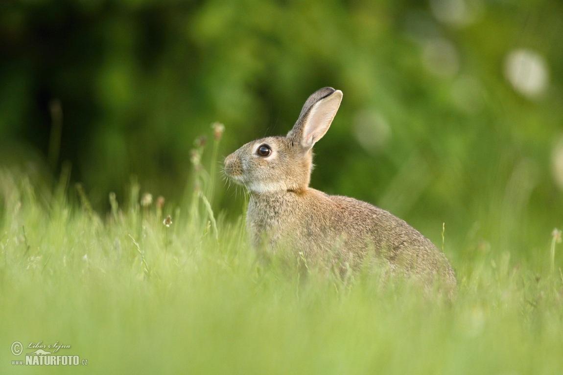 Wild rabbit photos wild rabbit images nature wildlife pictures wild rabbit oryctolagus cuniculus voltagebd Choice Image