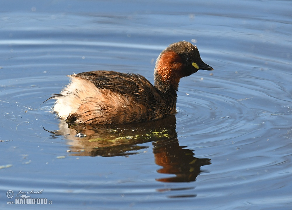 Little Grebe Photos, Little Grebe Images, Nature Wildlife ...