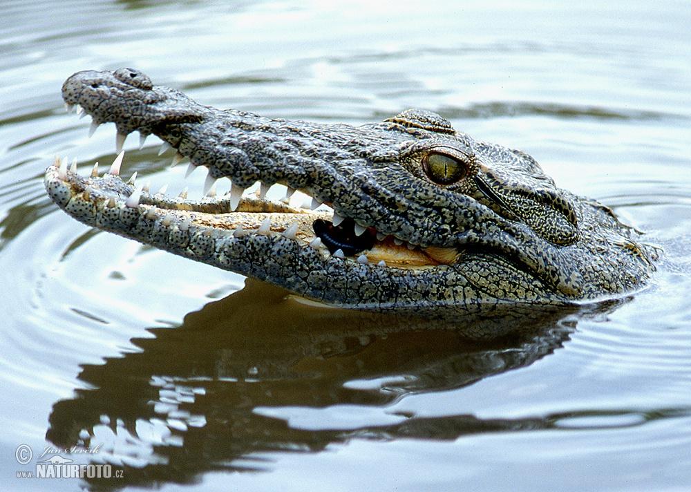 Nile Crocodile Nile Crocodile Photos,...