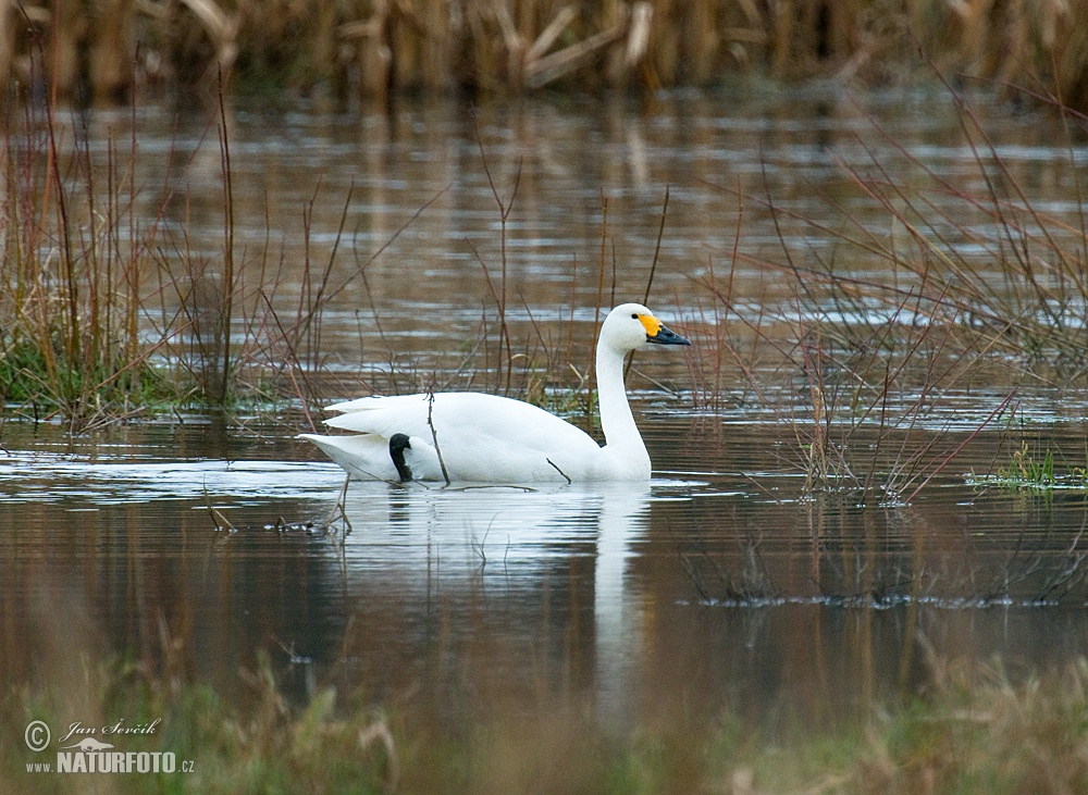 Tundra Swan Photos, Tundra Swan Images, Nature Wildlife