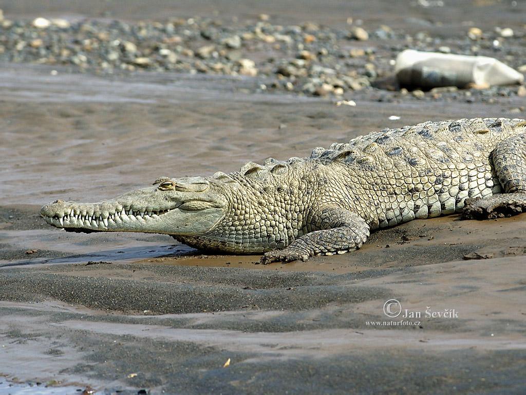 non ha un musetto carino carino? adesso gli faccio una carezzuccia....AIUTO!!!!!! dans animali grandi, grandi (wow!) krokodyl-americky-1024_768