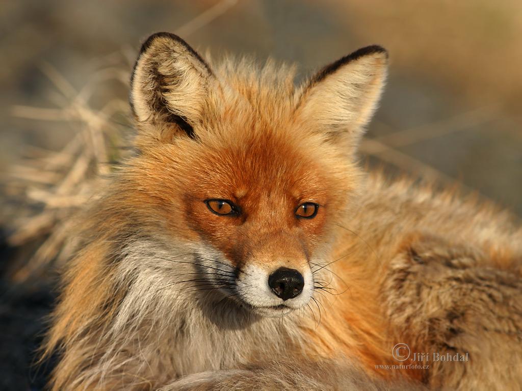 un bel musetto di volpe...buona domenica dans animali ed animaletti liska-obecna-1024_768