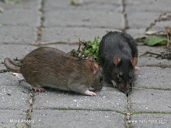 موش صحرایی سیاه عکس، تصاویر