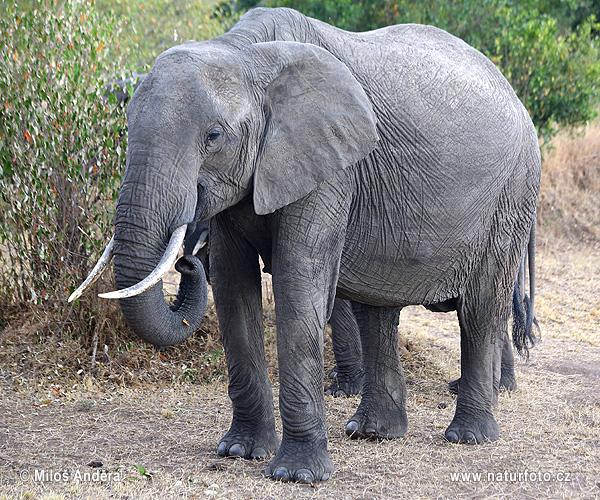 アフリカゾウの画像 p1_8