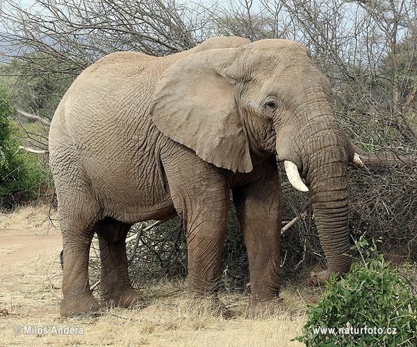 アフリカゾウの画像 p1_17