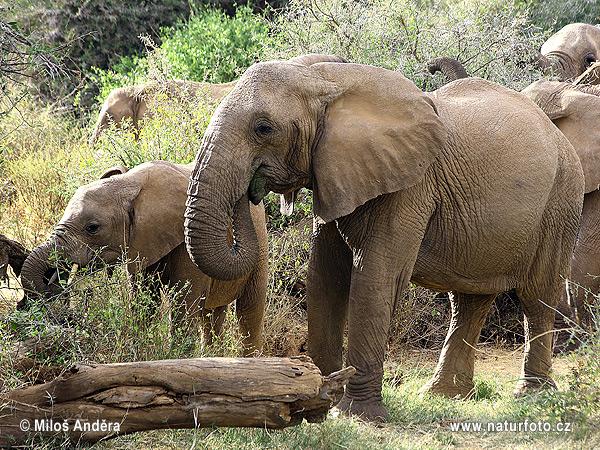 アフリカゾウの画像 p1_10