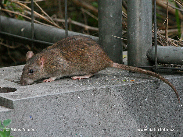 クマネズミの画像 p1_24