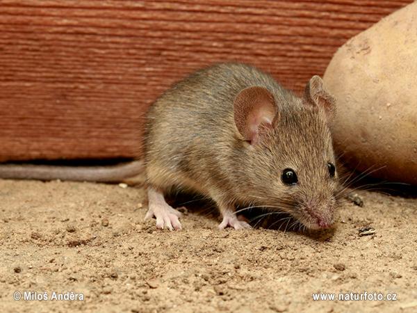 ハツカネズミの画像 p1_2