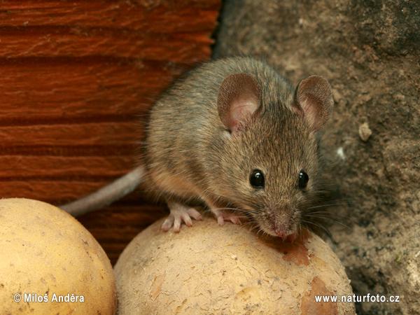 ハツカネズミの画像 p1_1