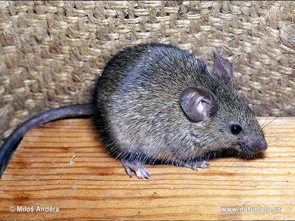 ハツカネズミの画像 p1_32