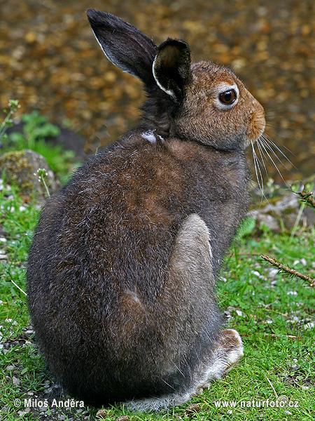 ユキウサギの画像 p1_34