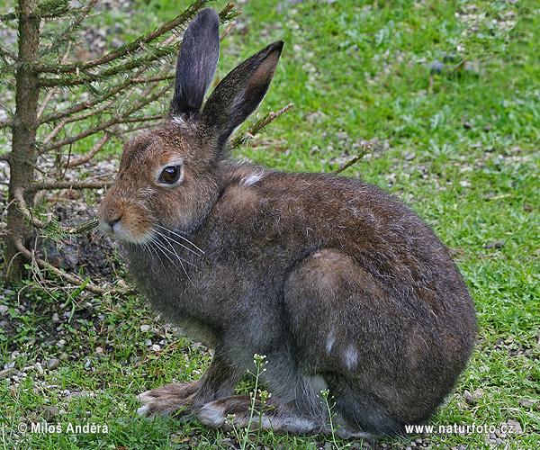 ユキウサギの画像 p1_31