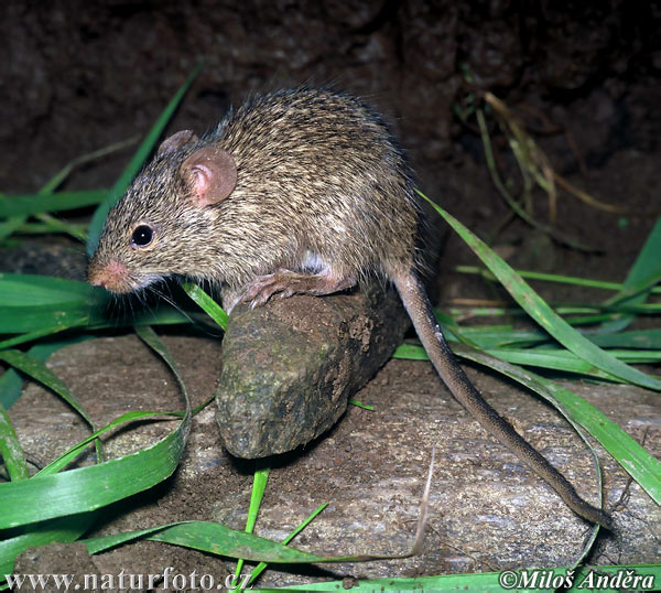 African Grass Rat Photos, African Grass Rat Images | Photobank ...