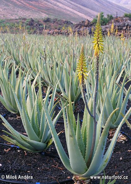 Aloe vera Pictures, Aloe vera Images  NaturePhoto