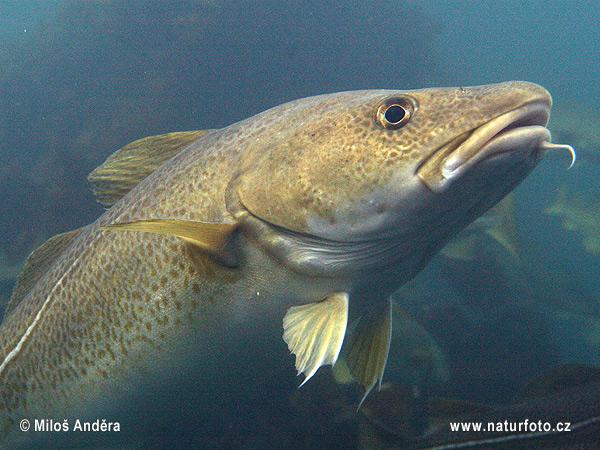 Atlantic cod photos atlantic cod images nature wildlife for Atlantic cod fish