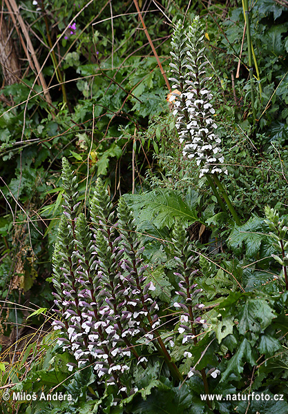 Bear's breeches, Bearsfoot, Oyster plant (Acanthus mollis)