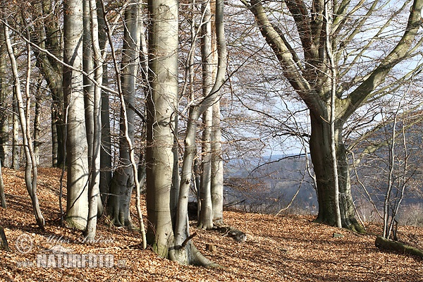 Beech wood, Early spring ()