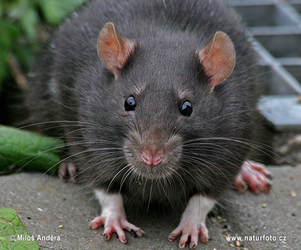 Black rat (Rattus rattus)
