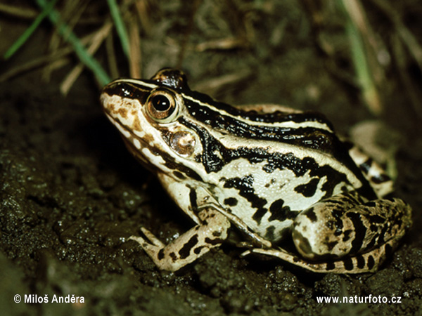 Black spotted frog (Pelophylax nigromaculatus)