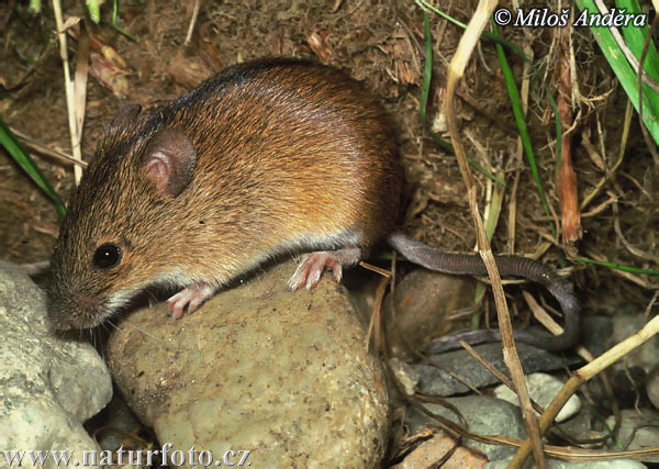 Black-striped Field Mouse (Apodemus agrarius)