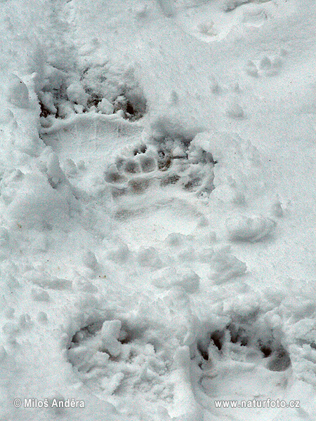 Brown bear - footprint (Ursus arctos)