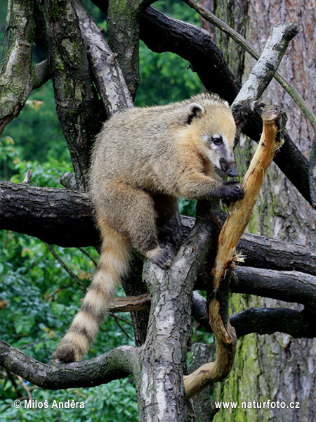 Brown-nosed Coati, South American Coati (Nasua nasua)