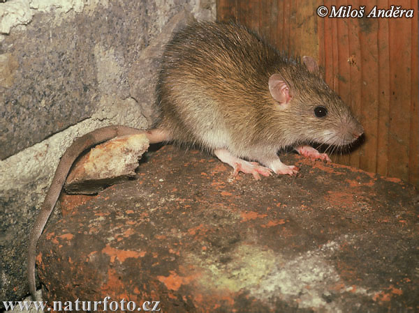 Brown Rat Photos, Brown Rat Images | Photobank NaturePhoto-